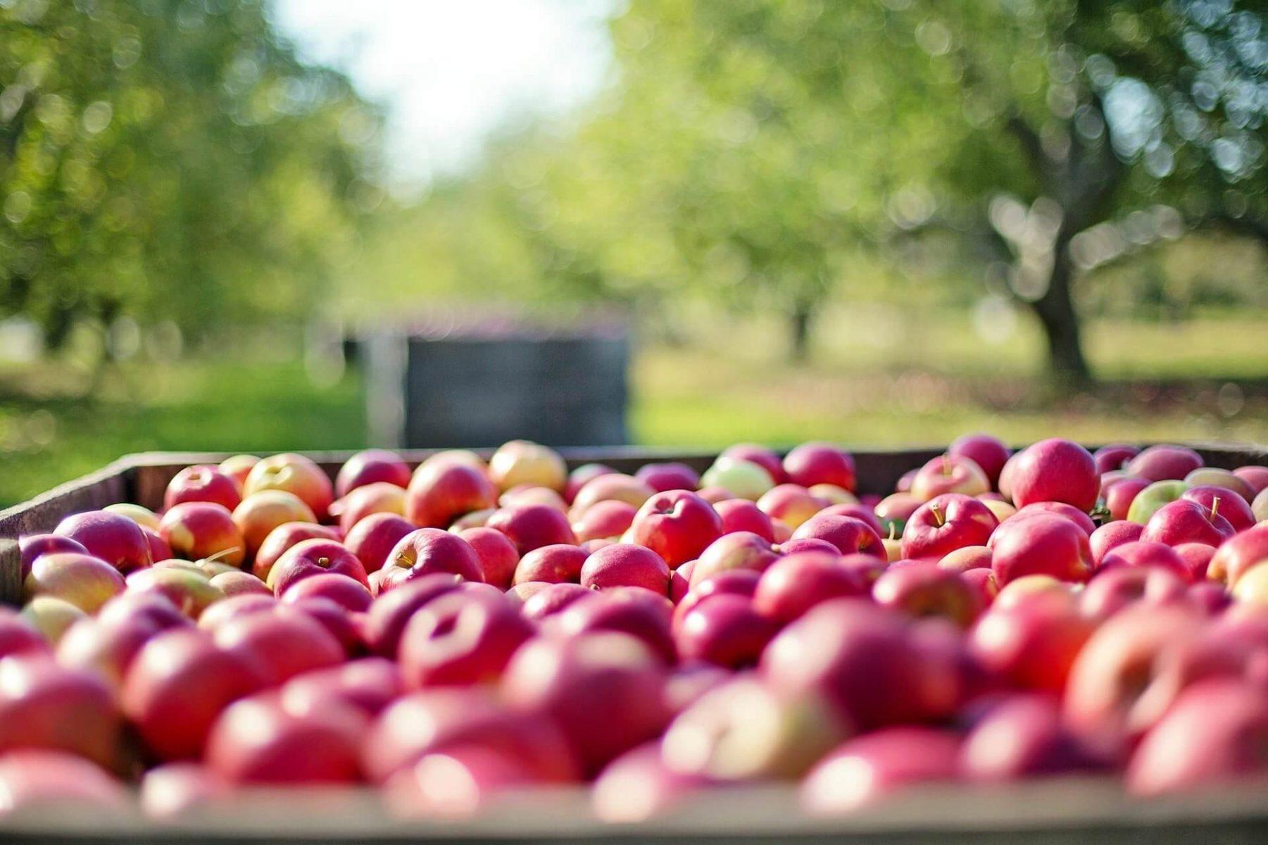 Apfelernte am Prallerstweg am 17.10.2020